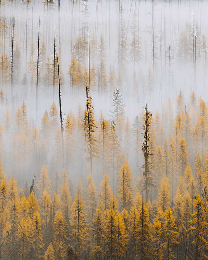 October Larches